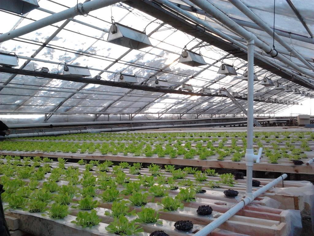 Выращивание зелени в большой промышленной теплице