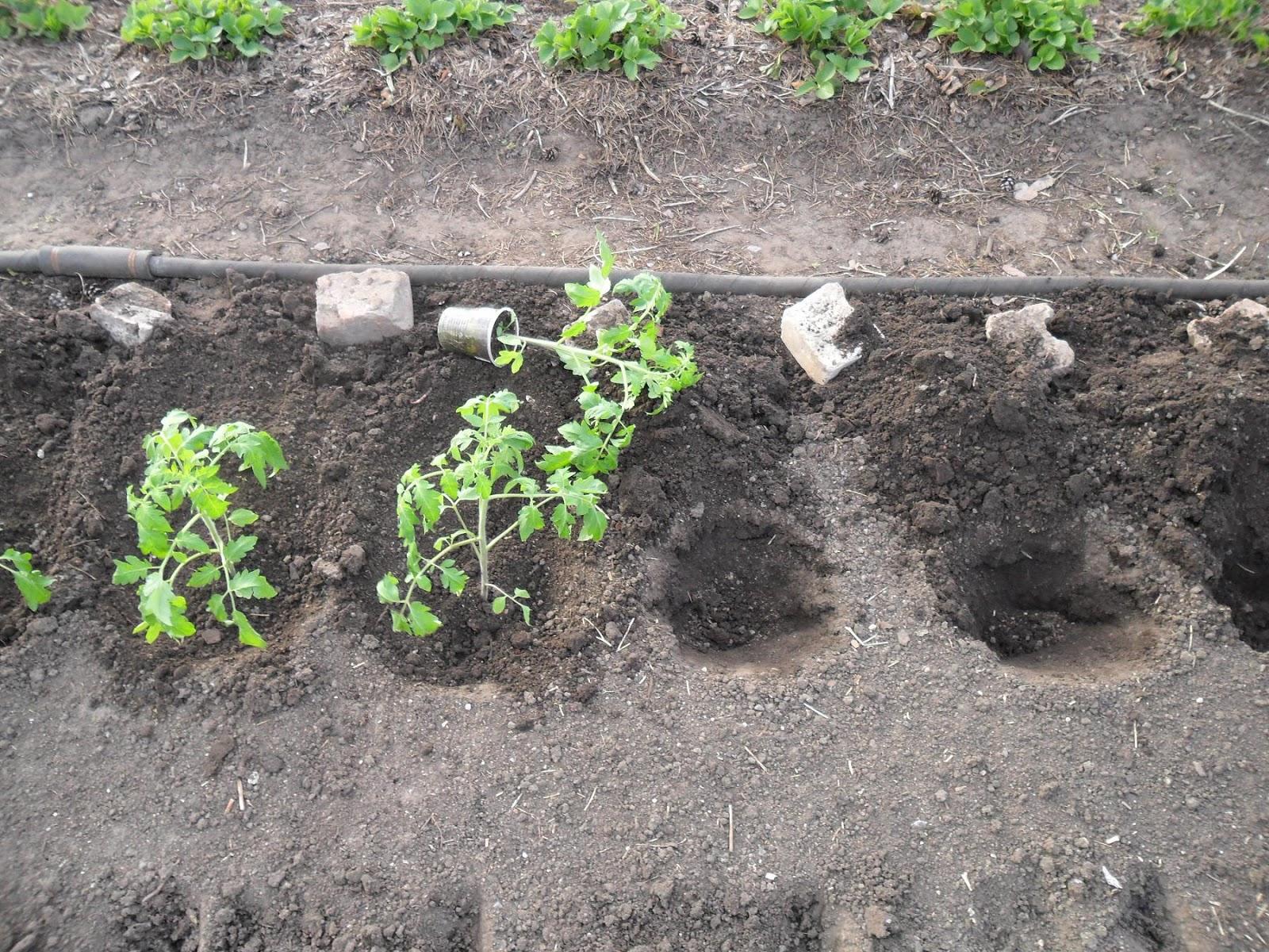 Высадка помидоров в грунт