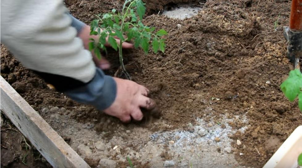 Высадка рассады помидоров в открытый грунт