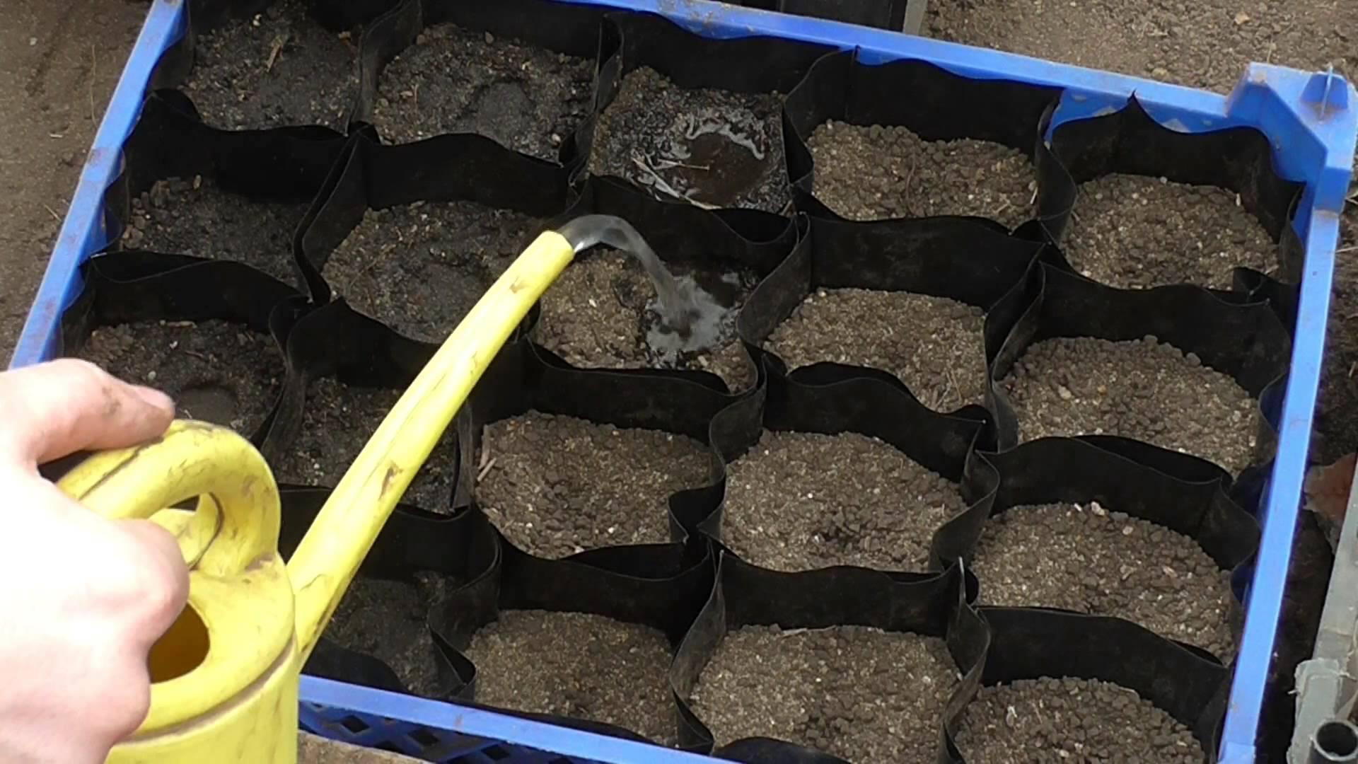 Заполнение стаканчиков почвой и полив