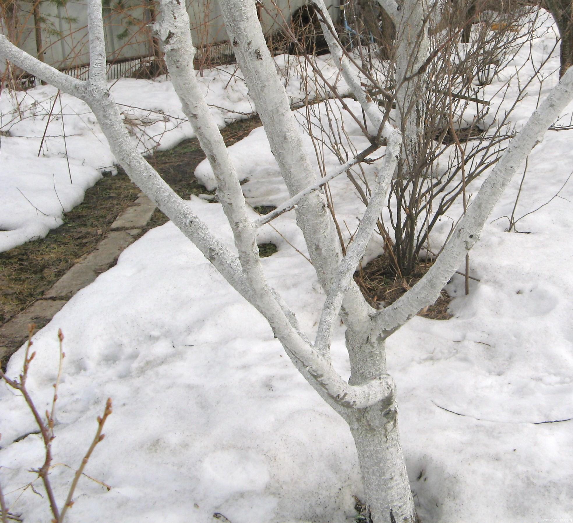 Защита деревьев от ожогов побелкой