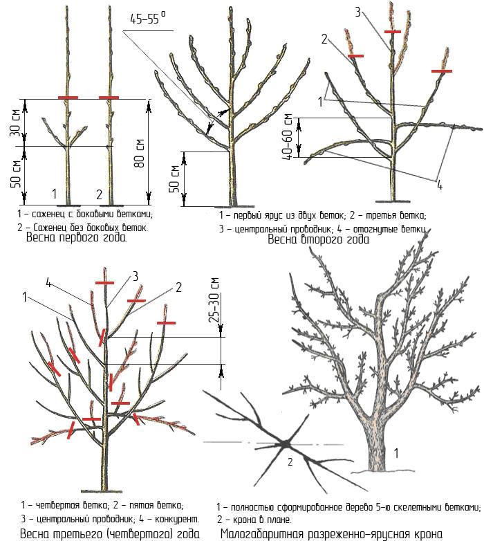 Обрезка яблонь: формирующая, регулирующая, омолаживающая