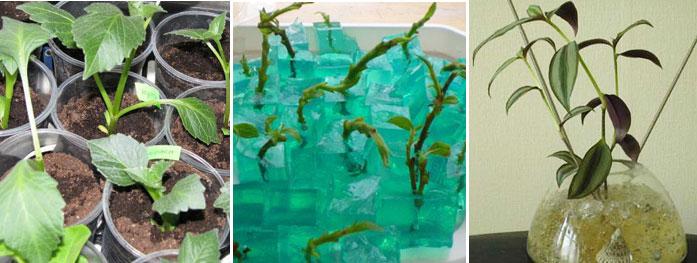 В смеси гидрогеля и земли очень удобно выращивать черенки растений, проращивать семена. Готовят такую смесь точно так же, как смесь для комнатных растений