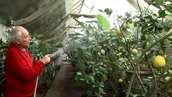 При должных навыках и уходе в теплице-термосе можно выращивать не только обычные огурцы, томаты и кабачки, но и экзотические культуры, которые на открытом грунте в вашей местности вряд ли бы смогли прижиться