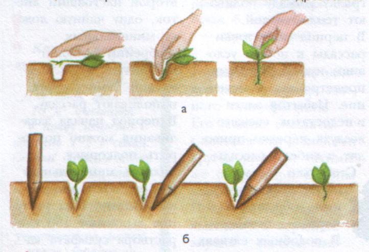 Помимо палочки для мороженого или ложки, пикировку можно проводить вообще без инструментов- при помощи собственных пальцев. На изображении показано, как это производится