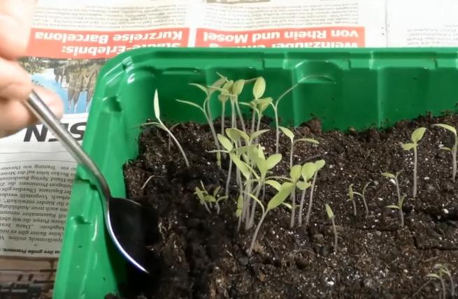 Некоторые садоводы ускоряют процесс пикировки, извлекая из общей емкости для рассады не один, а множество сеянцев за раз. Затем они разделяются и по одному высаживаются в горшочки. Способ пикировки допустимый, но менее аккуратный – есть риск сильно повредить растения