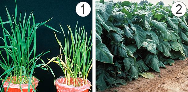 Еще один пример. 1 – Сравнение растения с нормальным содержанием азота (слева) и с недостаточным (справа). 2 – Пример переизбытка химического элемента, что выражается в появлении темно-зеленого оттенка, избыточных массы и размеров вегетативных органов