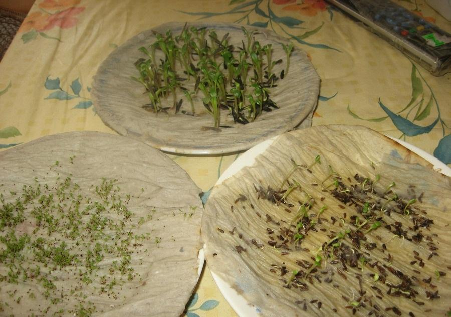 Альтернативный вариант - проращивание семян на туалетной бумаге
