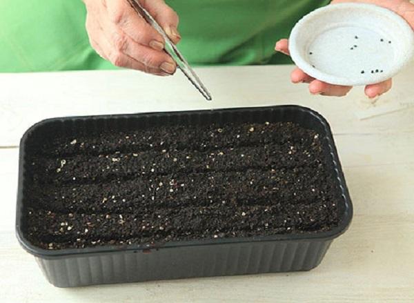 Брать семена удобно пинцетом