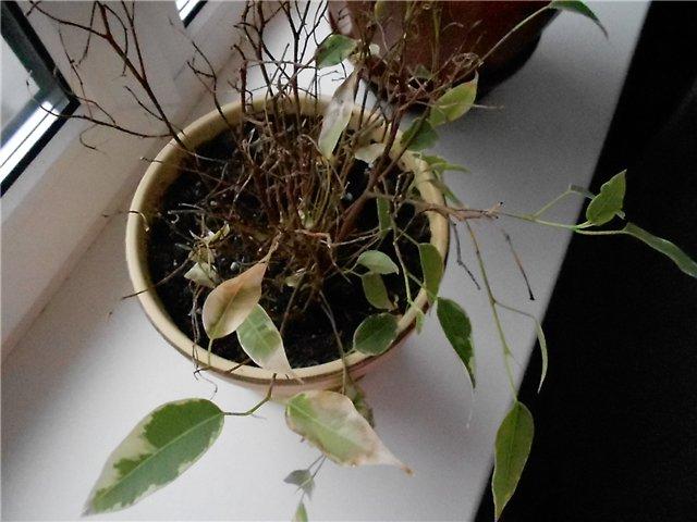 Фикус сбросил листья из-за неправильного полива