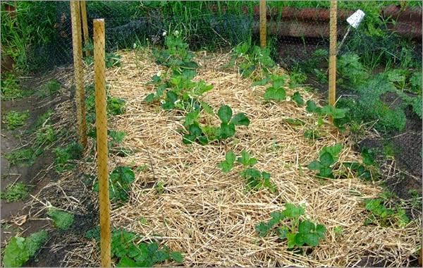 Фото мульчирования почвы