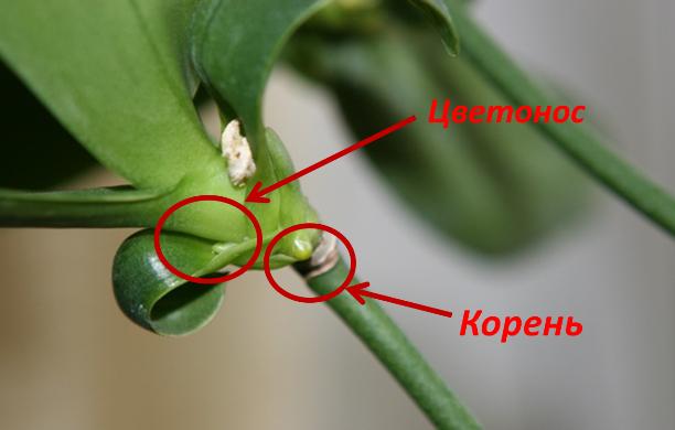 Как отличить корень от цветоноса на орхидее