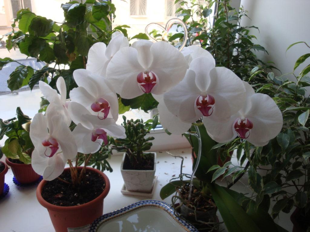 Как поливать орхидею во время цветения правильно? Орхидея: уход во время цветения