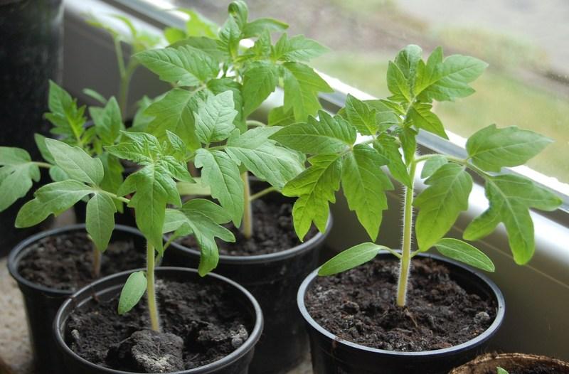 Как получить качественную рассаду томатов