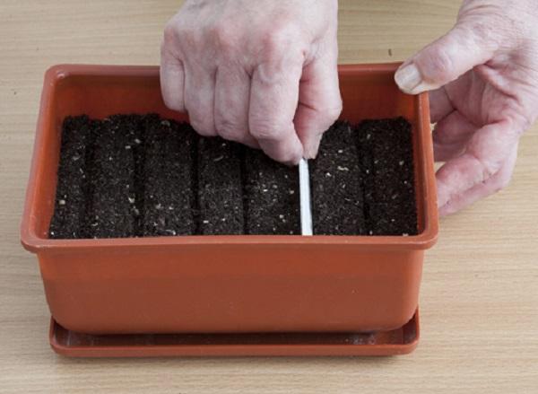 Как сделать бороздки для посева бархатцев на рассаду