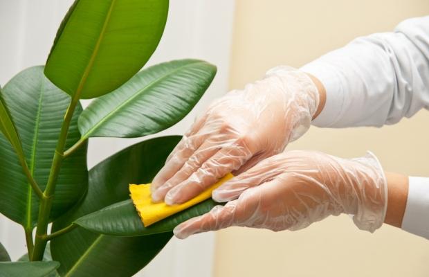 Листья фикуса протираются влажной тканью