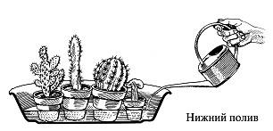 график полива кактусов