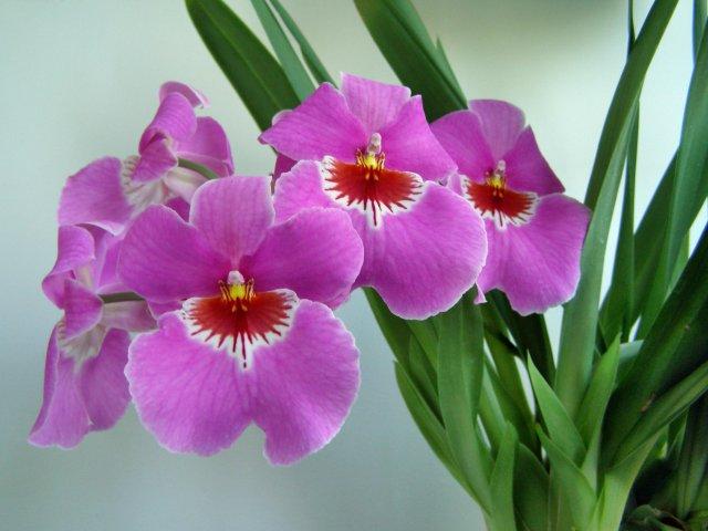 Орхидея Мильтония (Miltonia)