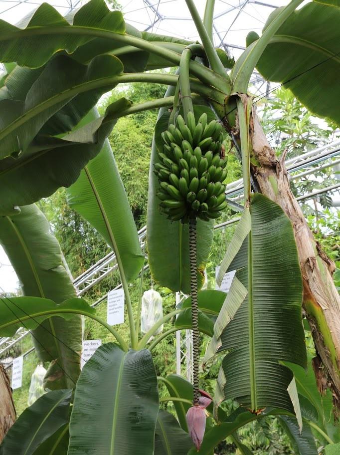 Плодоносящий банан