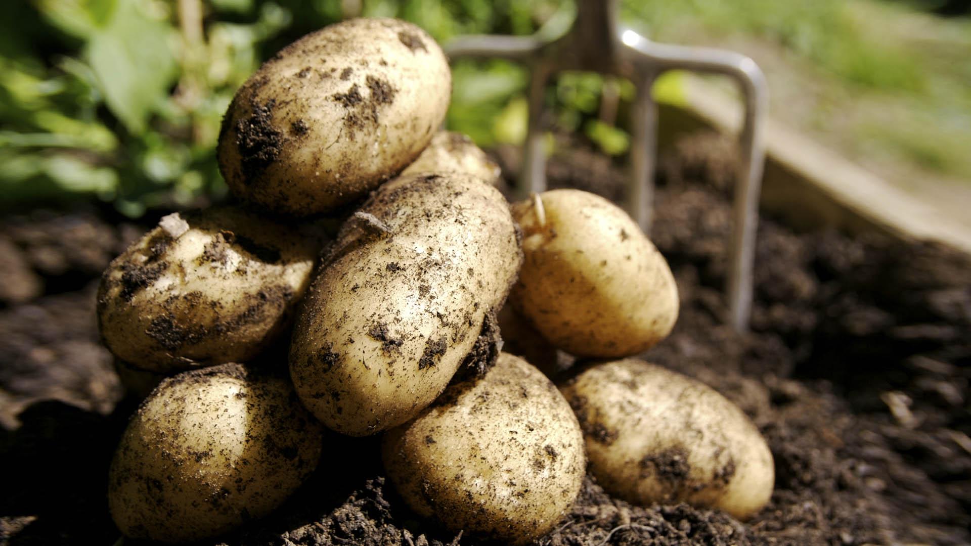 Почва на участках с картофелем быстро беднеет
