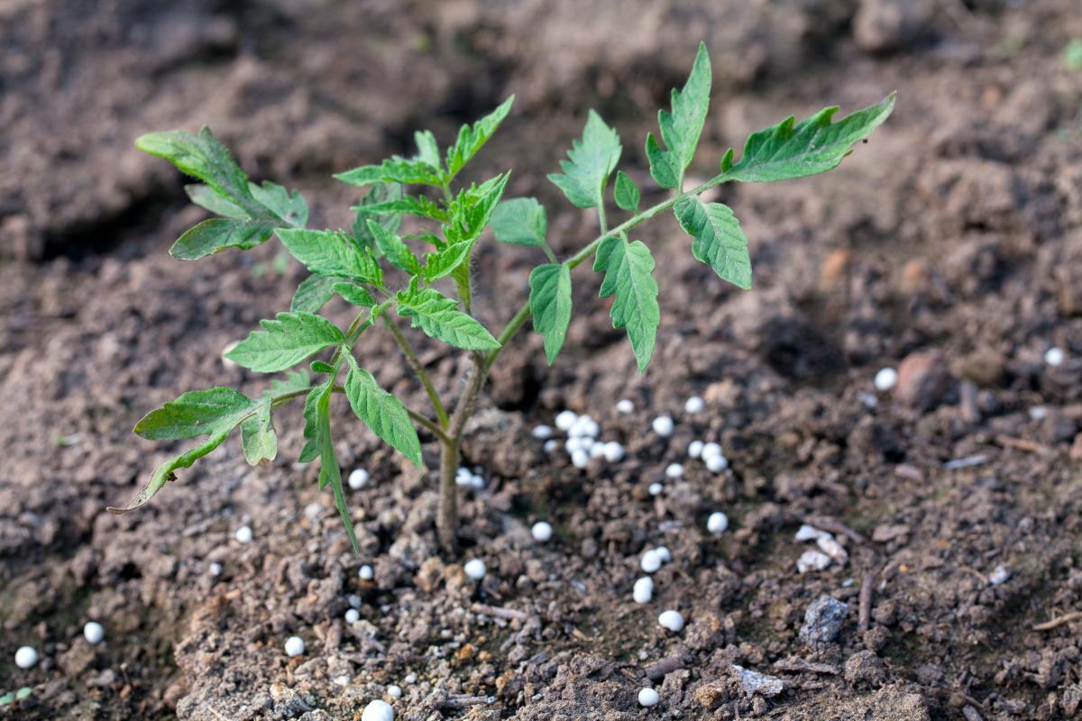 Подкормка томатов в период вегетации