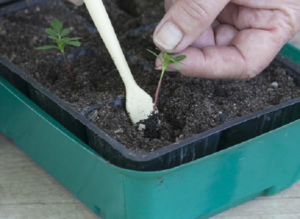 Посадка ростка в отдельный стаканцик