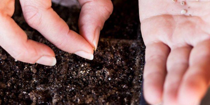 Посадка семян баклажанов на рассаду