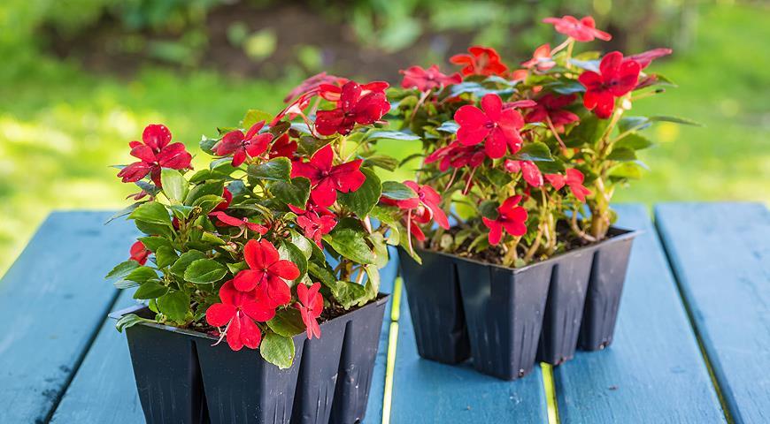 Посев цветов на рассаду