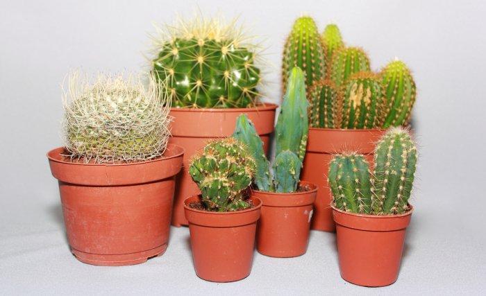 Правила полива взрослых кактусов в домашних условиях