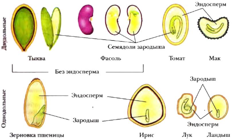 Продольный разрез семян двудольных и однодольных растений