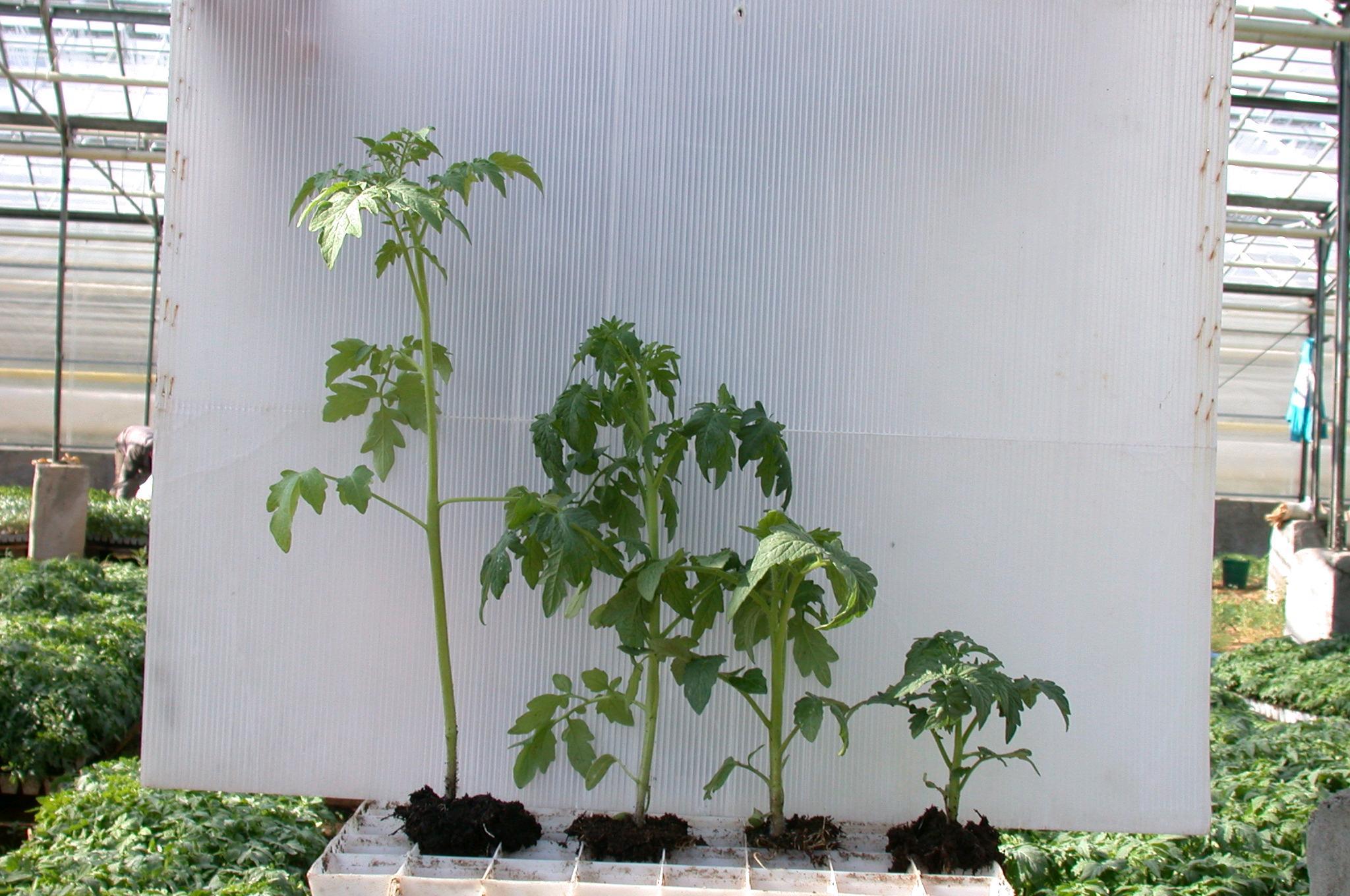 Рассада томатов, посаженная в разные сроки