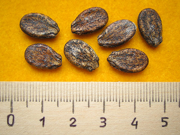Семена арбуза