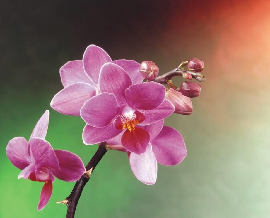 Соцветие орхидеи и нераскрывшиеся бутоны