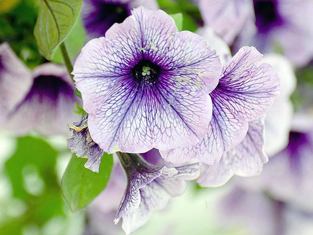 Светло-фиолетовая петуния