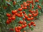Правильный посев семян помидор