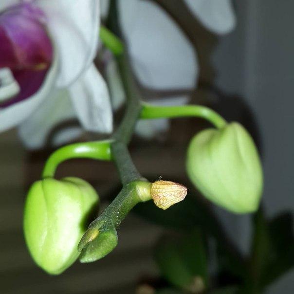 Увядание бутонов орхидеи