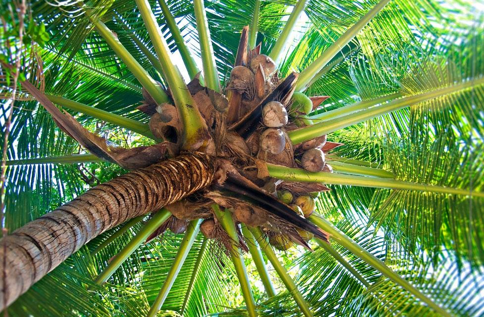 В кокосовой скорлупе нет паразитов и возбудителей заболеваний