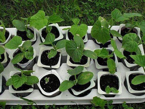 Выращивание огурцов на рассаду