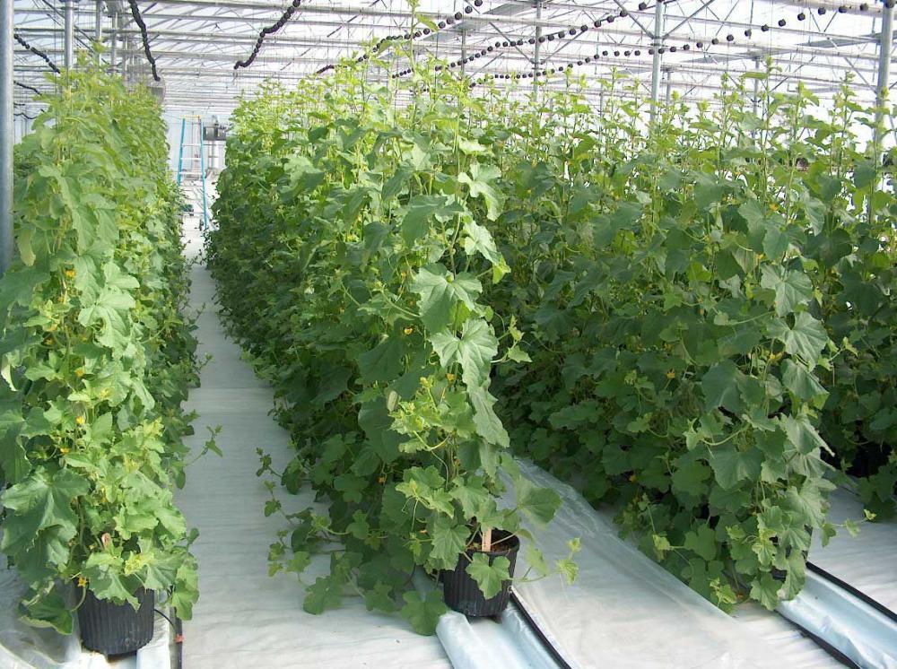 Огурцы - выращивание, посадка, уход. В открытом 10