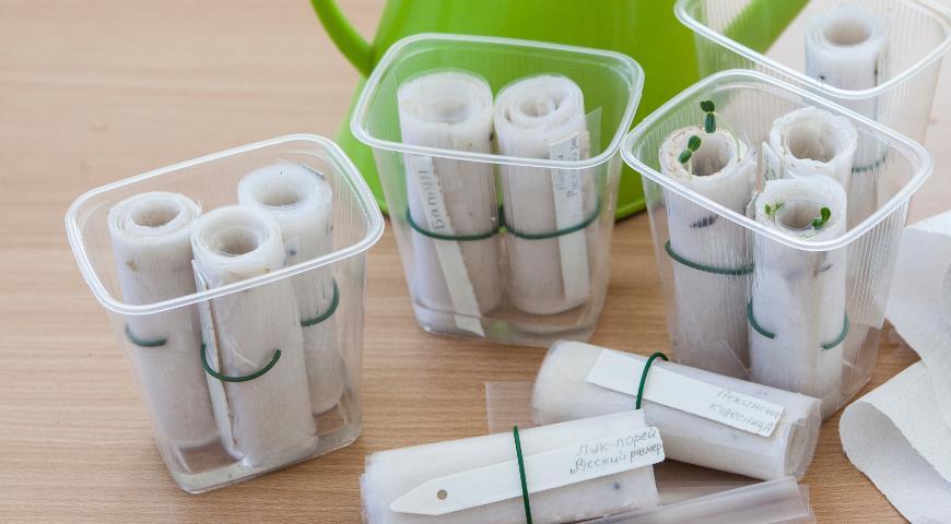 Выращивание рассады на туалетной бумаге