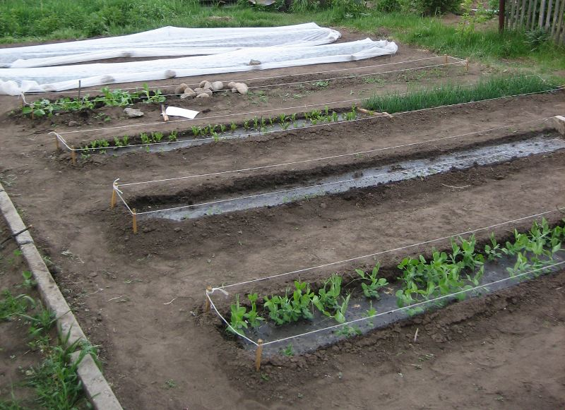 Засаженные гряды капусты, накрытые нетканным укрывным материалом, на заднем плане