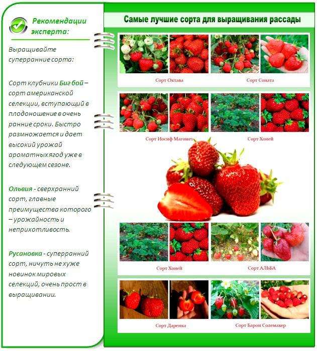 Лучшие сорта клубники для выращивания рассады