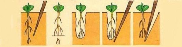 Схема, изображающая последовательность действий при классической пикировке – заостренная палочка вводится в грунт рядом с колышком. С ее помощью происходит отсечение части главного корня. Затем при помощи той же палочки сеянец поддевается и пересаживается на новое мест - в индивидуальный горшок или стакан