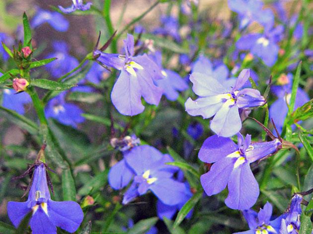 Лобелия эринус (бордюрная, ежевидная или синяя) / Lobelia erinus