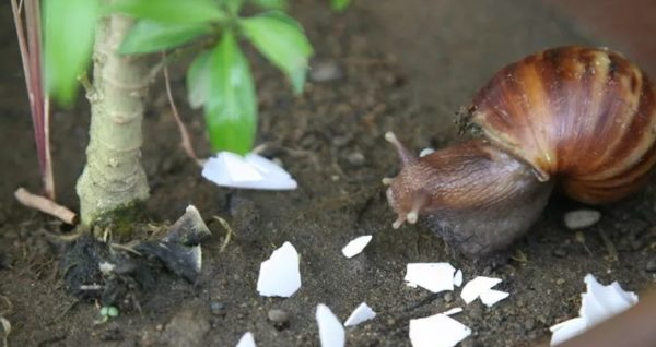 Некоторые садоводы и огородники используют яичную скорлупу для защиты растений от вредителей, в частности, от улиток. При этом исходный материал нужно раскрошить, но не до состояния порошка, а затем рассыпать вокруг стебля. Острые кромки яичной скорлупы станут помехой для улиток и прочих вредителей, которые не смогут без проблем добраться до ваших растений и повредить их