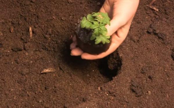 Пересадка сеянца из стаканчика без дна в открытый грунт отличается удобством и безопасностью для корневой системы и стебля растения