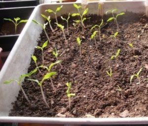Шаг 3. Высадка семян