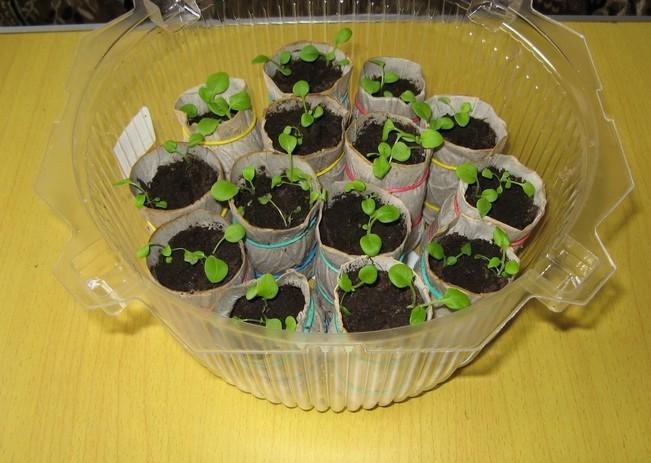 Бумажные стаканчики с рассадой