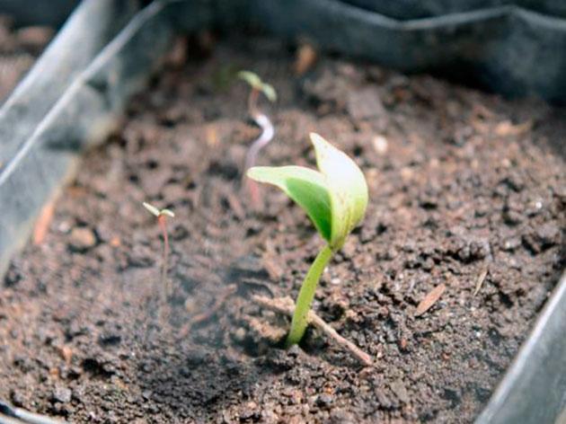 Первые настоящие листки на рассаде
