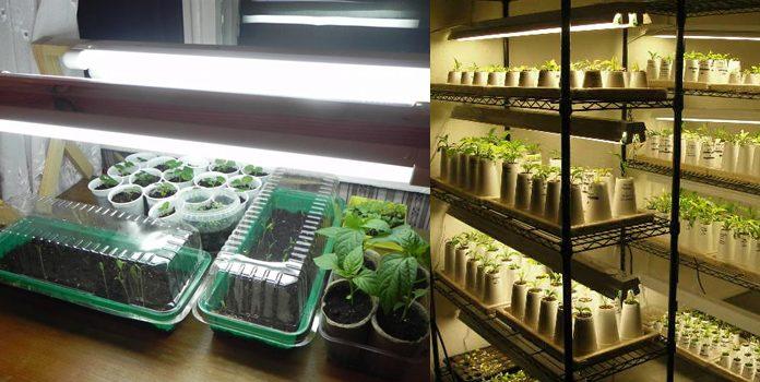 Подсветка рассады капусты